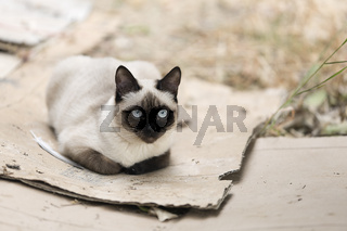 Siamese cat relaxed on the outside of a country house.