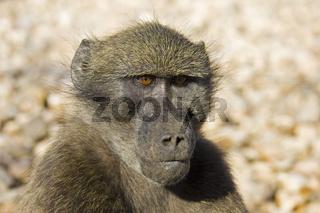 Steppenpavian (Papio cynocephalus), Namibia, Afrika, Yellow Baboon, Africa, Portrait