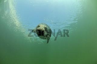 Europaeischer Seehund, Phoca vitulina vitulina, Common Seal