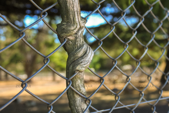 Tree grown around to the fence. Blurred background.