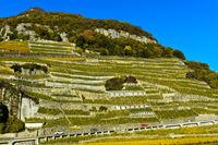 Chasselas Rebstöcke in terrassierte Steillagen im Weinberg Aigle les Murailles