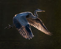 Great Blue Heron in Flight VI