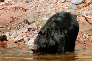 American black bear going into the water