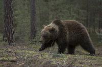 im Wald... Europäischer Braunbär *Ursus arctos*