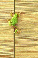 european green tree frog climbing on furniture ( Hyla arborea )