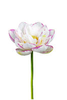 buddha lotus flower isolated