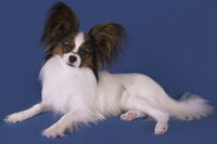 Beautiful young male dog Continental Toy Spaniel Papillon on blue background