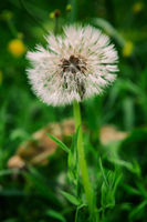 Closeup of a fluffy dandelion