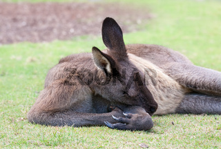 male kangaroo sleeps