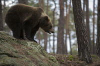 auf den Felsen... Europäischer Braunbär *Ursus arctos*