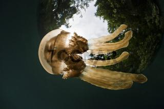 Mastigias Schirmqualle, Matigias papua, Risong Bay, Mikronesien, Palau, Mastigias Jellyfish, Micronesia