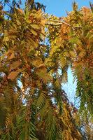 Zweige des Urweltmammutbaums im Herbst im Abendlicht