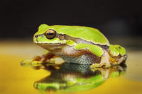 beautiful green tree frog photographed on the windscreen of a car ( Hyla arborea )