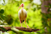Immature white ibis sitting on a tree