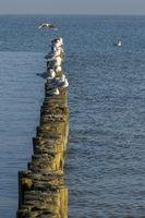 sitzende Möwen auf einer Buhnenreihe in der Ostsee