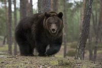scharfe Waffen... Europäischer Braunbär *Ursus arctos*