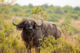 Isolated buffalo in the savannah countryside of Nairobi Park in Kenya