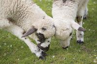 Schaf, Lamm, lamb, ovis