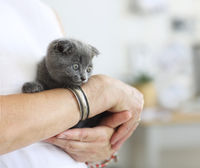 Little grey cat sitting in young woman hands