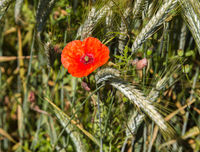 Mohnblume im Getreidefeld 2