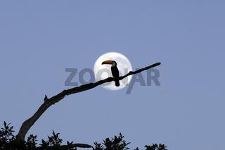 Riesentukan (Ramphastos toco), beim Monduntergang, Pantanal, Brasilien, Südamerika