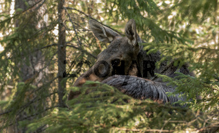 Moose or elk, Alces alces, female standing behind a spruce