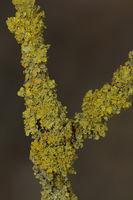 Gewoehnliche Gelbflechte (Xanthoria parietina)