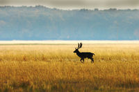 fallow deer buck in morning light ( Dama )