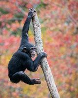 Climbing Chimp II