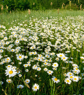 Blooming meadow.