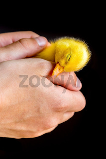 Sleeping newborn duckling in human hands