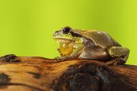 male tree frog singing on wood stump in mating season
