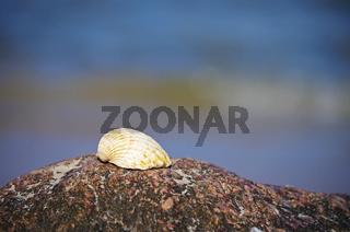 Muschel auf einem Stein an der Ostsee