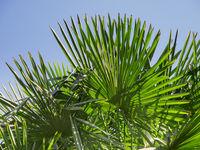 Trachycarpus fortunei nah