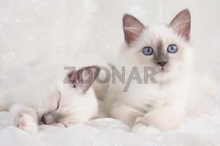 HEILIGE BIRMA KATZE, BIRMAKATZE, SACRED CAT OF BIRMA, BIRMAN CAT, LITTER, BLUEPOINT, SCHLAFEND,