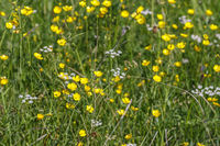Blooming Buttercups flowers on a summer meadow