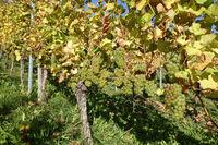 Vitis vinifera Silvaner, Weinberg, vineyard