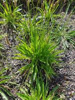Spitzwegerich; Plantago; Lanceolata; Heilpflanze