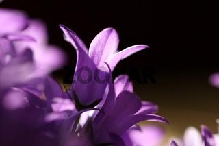 Seitenansicht einer Glockenblume