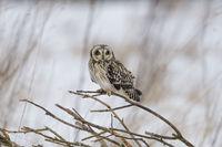 Sumpfohreule, Asio flammeus, Wild Short Eared Owl in winter snow