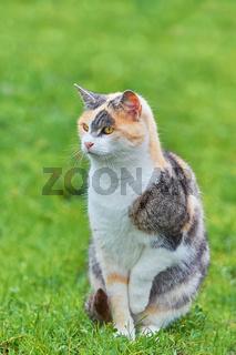 Sitting Domestic Cat