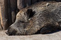 Wild boar in zoo