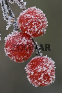 Raureif auf Beeren, winter, Eis,  Duemmer, Duemmer See, Niedersachsen, Deutschland, hoarfrost, berries, duemmer sea, germany