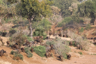 Kaffernbüffelherde im trockenen Fluss, Syncerus caffer, im Kruger Nationalpark, Südafrika, South Africa, African buffalo