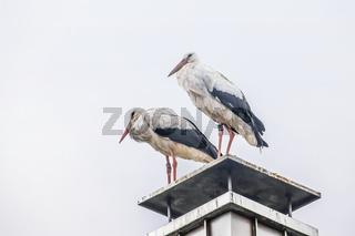 Storchenpaar, auf Schornstein stehend
