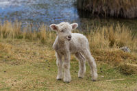 Baby lamb standing