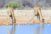 zwei trinkende Giraffen am Wasser