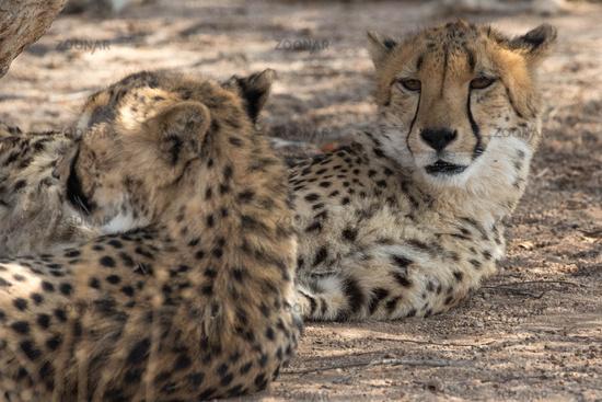 2 cheetahs Kruher National Park
