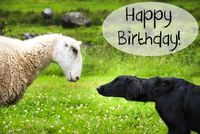 Dog Meets Sheep, Text Happy Birthday