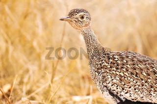 Trappe, Kruger NP, Südafrika, Korhaan, Kruger NP, South Africa